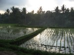 Sunrise in the Rice Fields